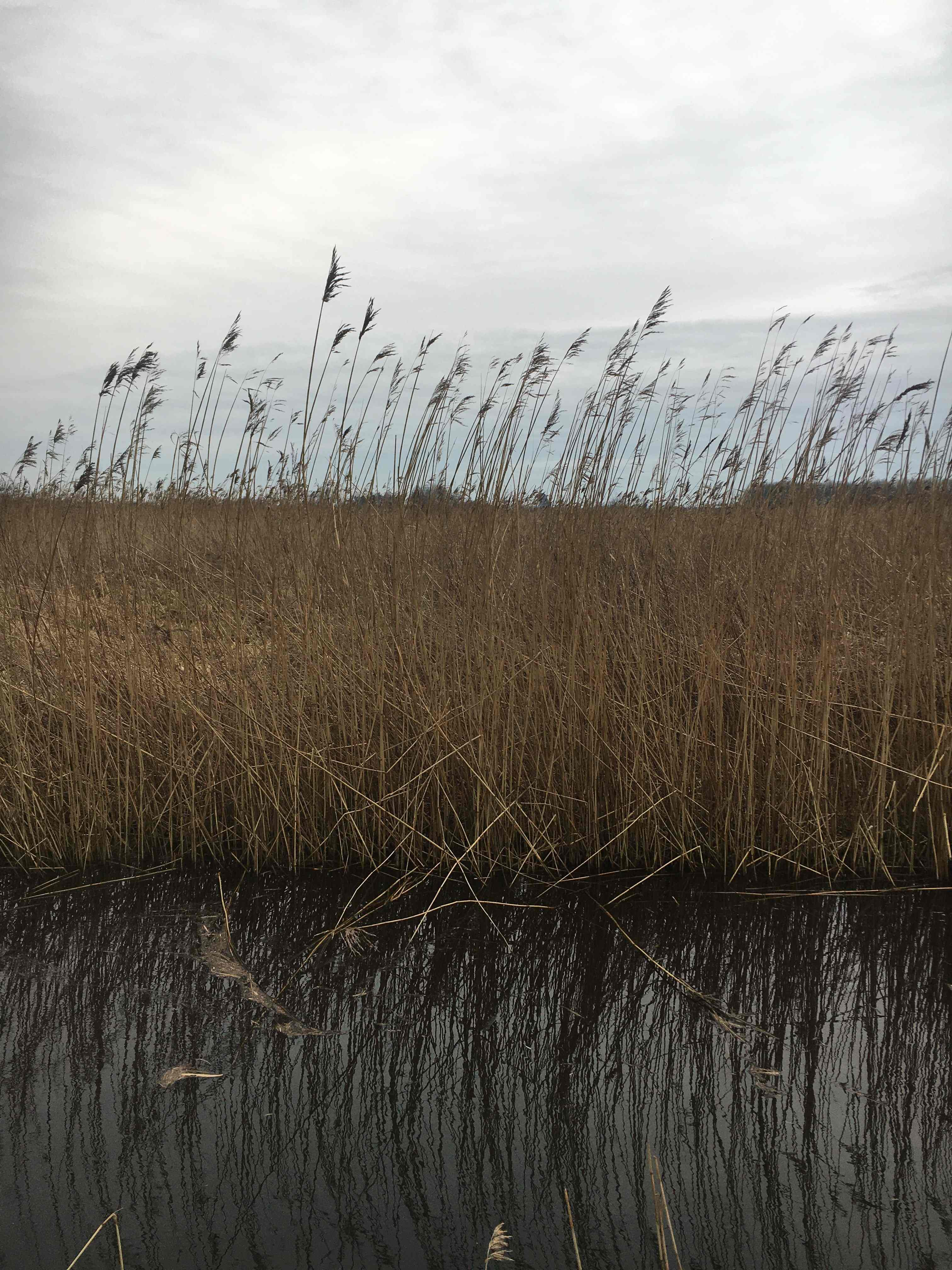 Dutch landscape reeds