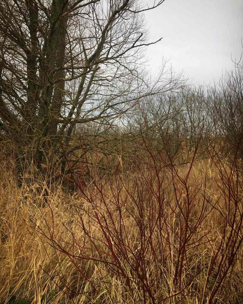 Dutch landscape tree and dogwood