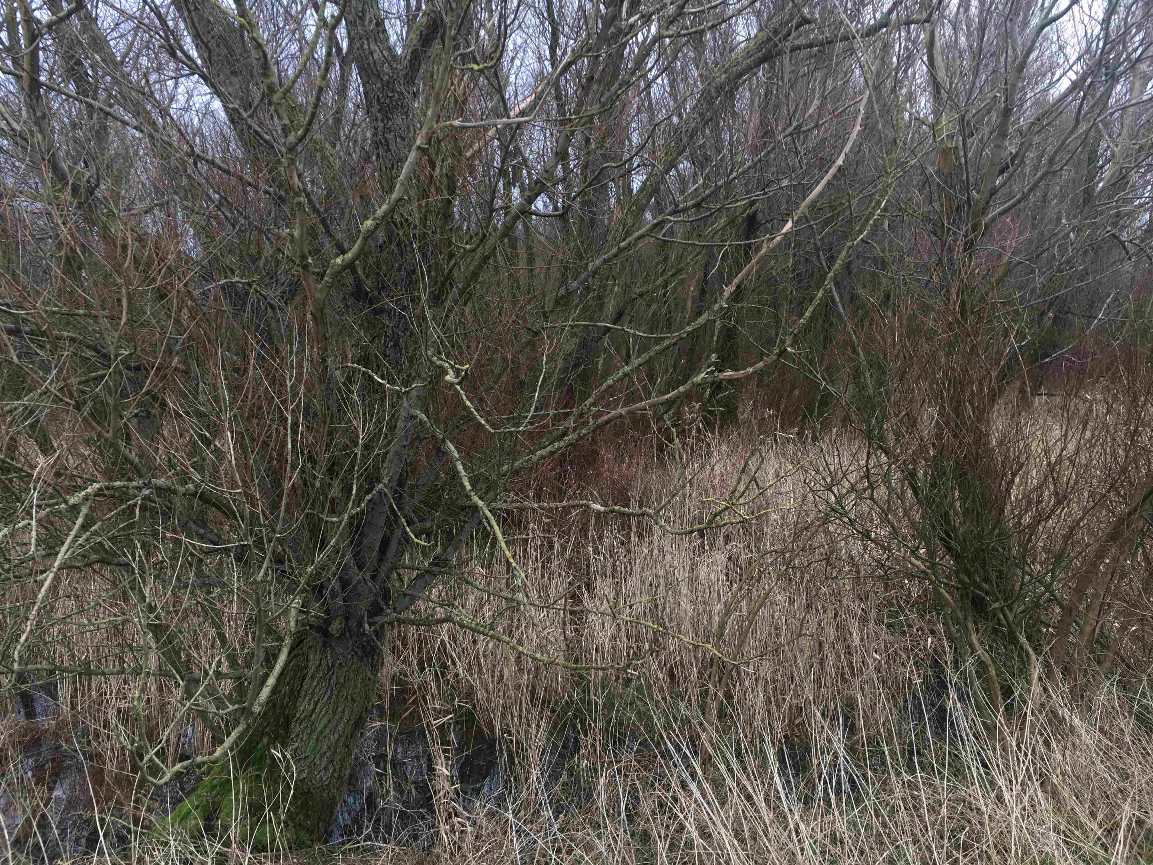 Dutch landscape trees