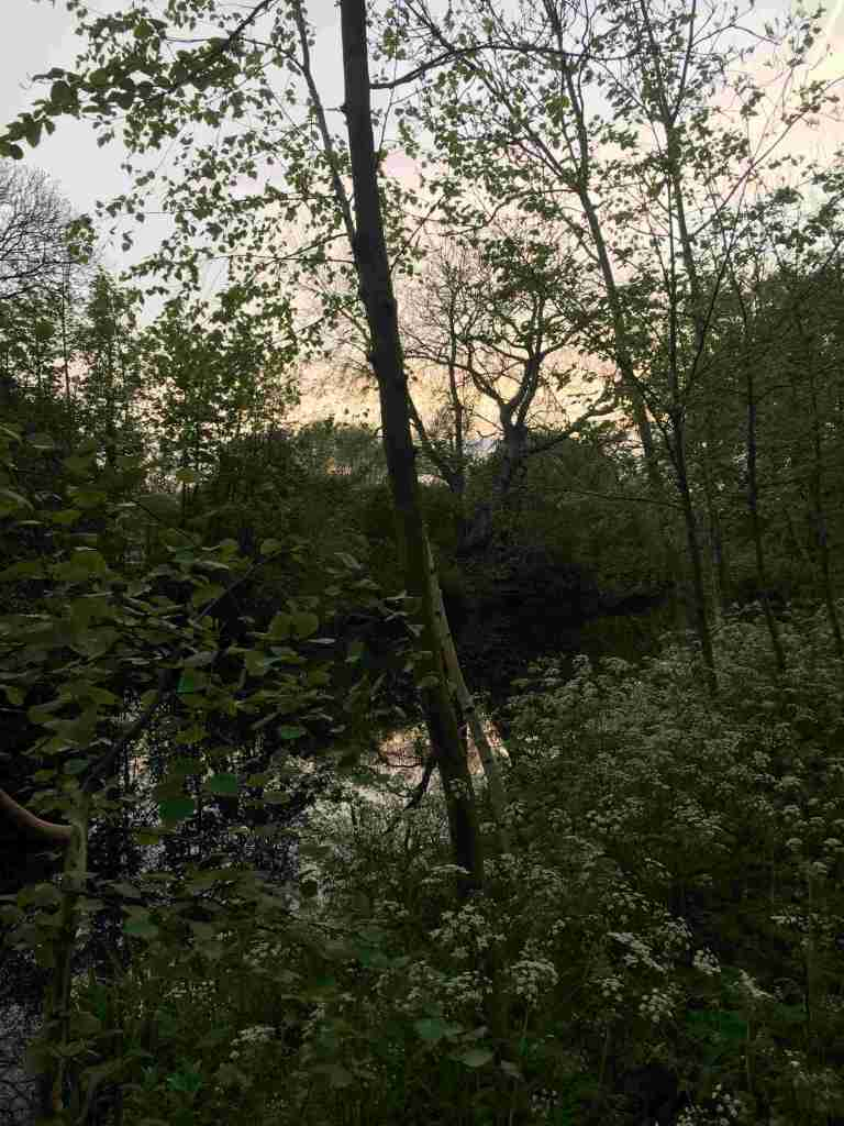 Evening light and cow parsley