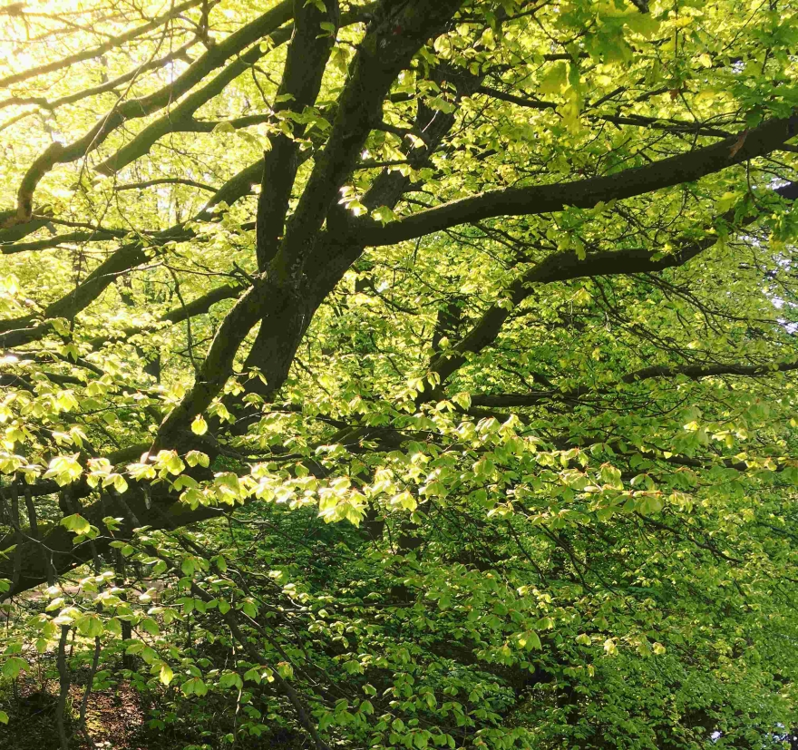 Spring trees in Haagse Bos