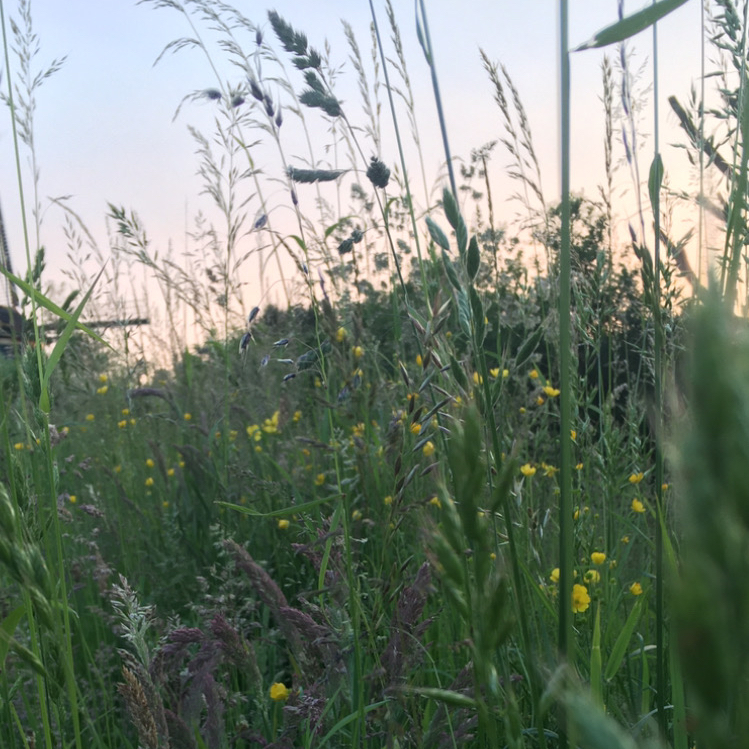 Summer grasses and windmill